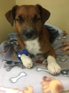 Inneliggande hund. Vätskedropp och mediciner ges i permanentkanylen i benet.
